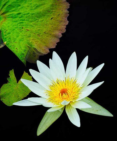 Flower Leaf Composition-Daniel Heller